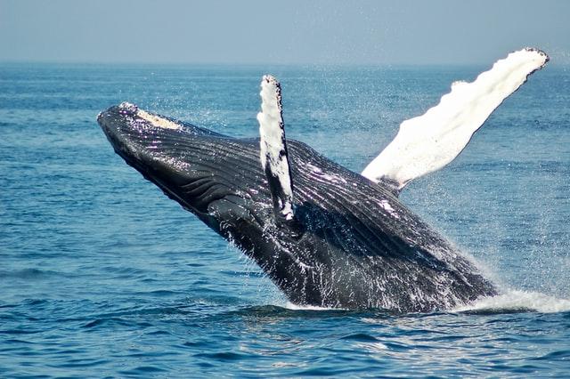 Derde grootste Bitcoin whale kocht in de dip: $13 miljoen aan Bitcoin voor $40.5K